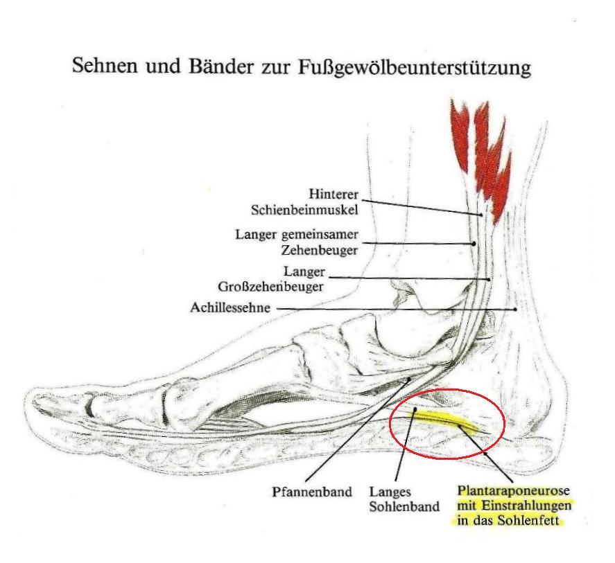 Fußaufbau - Interessantes Schaubild - Forum RUNNER\'S WORLD