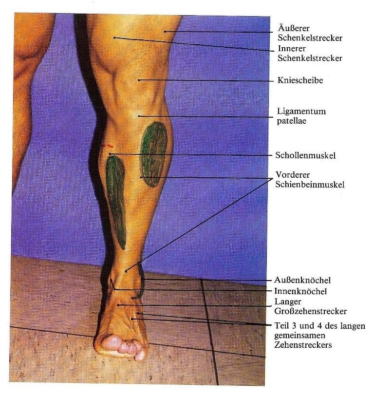 Atemberaubend Anatomie Des Shin Zeitgenössisch - Anatomie Von ...